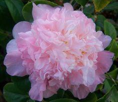"""~Camellia japonica """"Nuccio's Pink Lace"""""""