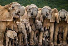 Generations by John M. Vosloo, Eastern Cape – Getaway Magazine Generationen von John M. Cute Baby Elephant, Cute Baby Animals, Funny Animals, Wild Elephant, Baby Hippo, Elephant Art, Elephant Gifts, Elephants Photos, Save The Elephants