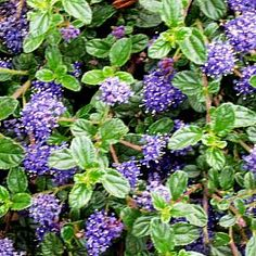 Ceanothus 'Centennial' -  great California native with tons of blue blooms in spring - expect it to spread 4' out by only 1' tall