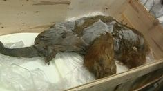 Exceptionally preserved woolly mammoth goes on view