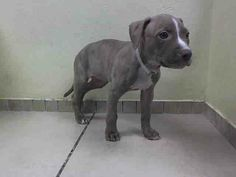 BROOKLYN CENTER FAITH -A0996948 FEMALE, BR BRINDLE / WHITE, PIT BULL MIX, 6 weeks For more information on adopting from the NYC AC&C, or to find a rescue to assist, please read the following: http://urgentpetsondeathrow.org/must-read/