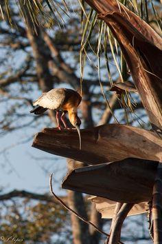 Curicaca A curicaca é uma ave da ordem dos Pelecaniformes da família Threskiornithidae.  Seu nome popular é onomatopaico, semelhante ao som do seu canto, composto de gritos fortes. Conhecida também como despertador (Pantanal), carucaca, curicaca-comum, curicaca-branca, curicaca-de-pescoço-branco e caricaca . Registrei essa foto em Campo Grande ms.