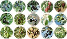 Variedades de aceitunas y además sobre los tipos de aceite que salen de ellas.