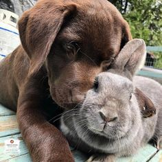 This chocolate lab puppy has become best friends with the family pet rabbit. Cute Baby Dogs, Cute Dogs And Puppies, I Love Dogs, Doggies, Cute Labrador Puppies, Adorable Dogs, Corgi Puppies, Pet Puppy, Cute Little Animals