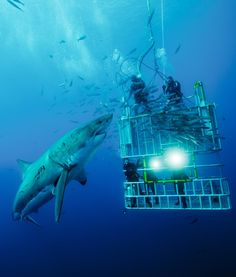 Cage divers confront a great white shark. Isla de Guadalupe.