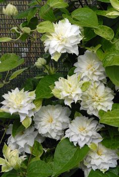 Madame Maria clematis has large, double white flowers, is long blooming and disease resistant too. This easy to grow, award-winning vine was the recipient of the Gold Medal at the Green is Life show in Poland; the Bronze Medal at Planetarium in the Netherlands and the Planetarium Press Prize too.