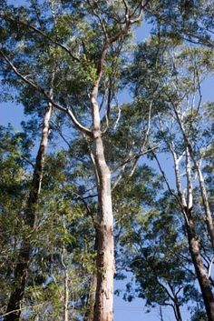 Australian Gum Tree - leadership, strength, health, immunity, power, authenticity, resourcefulness