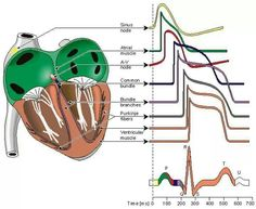 ECG made easy.(Normal).