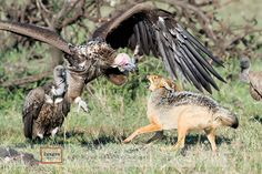 Lappet-faced_Vulture_fighting.jpg (960×640)