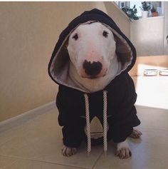 Love the face🐾🐶❣️ English Bull Terrier Puppy, Bull Terrier Funny, Bull Terrier Tattoo, British Bull Terrier, Mini Bull Terriers, Miniature Bull Terrier, Bully Dog, Best Dog Breeds, Funny Dog Pictures