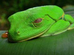 Rã de Olhos Vermelhos (gênero Agalychnis) nativa das florestas tropicais da América Central.