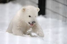 polar bear alaska - Google Search