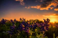 Texas. Bluebonnets. Sunsets. Yep. Yep. Yep.