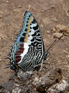 Among the many gorgeous butterflies in the rain forests of Western Kenya are the Charaxes, or Emperor Butterflies. They fly high and fast through the forest canopy, but can't resist the lure of fresh dung to feast on! Many Charaxes butterflies have the most beautifully intricate patterns on the undersides of their wings, like this Giant Charaxes (Charaxes castor).