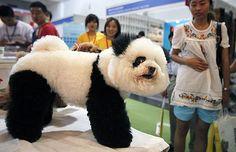 a poodle or a panda??