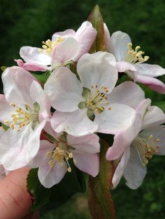 The first of many beautiful APPLE blooms arriving for the new season 😍😍😍 . Apple Flowers, Pink Flowers, Spring Blossom, Cherry Blossom, Apple Blossoms, Organic Gardening, Gardening Tips, Anemone Du Japon, Bank Holiday Weekend