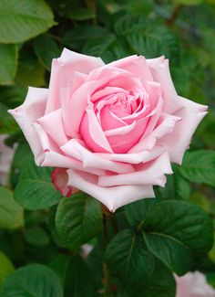 ~Rosa 'La France' - the first Hybrid Tea rose