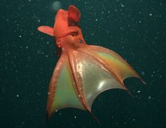 Vampire squid are cute and I don't care if you think so or not.