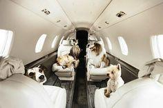 WEB LUXO - PETS: Cães viajam de primeira classe em jato particular