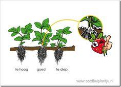 Aardbeien planten in detail - augustus