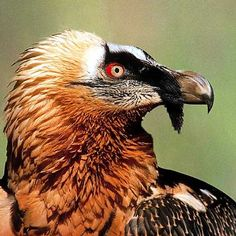 Bearded Vulture, there are only about 120 bearded vultures being kept in zoos and breeding centers across Europe, Asia, and the United States.