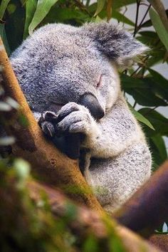 A fluffy koala sleeping up in the trees.