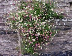 Erigeron karvinskianus (Mexican fleabane) growing in a wall in Slapton, Devon - very small, but so cheerful. Seaside Garden, Coastal Gardens, Cottage Garden Plants, Garden Pots, Back Gardens, Outdoor Gardens, Beautiful Gardens, Beautiful Flowers, Backyard Ideas For Small Yards