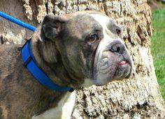 Bulldog dog for Adoption in Goodyear, AZ. ADN-533858 on PuppyFinder.com Gender: Female. Age: