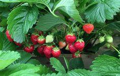 Sådan får du de bedste og flotteste jordbær
