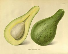 botanical etchings coloured fruit - Google Search