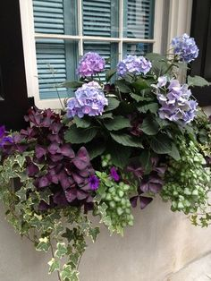 Shade window box with Hydrangea, purple Oxalis triangularis and variegated ivy, purple petunias, and another variegated vine