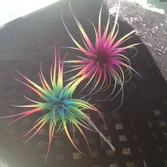 Two Tillandsia Air Plants Fairy Bursting With Color! Air Plants Care, Plant Care, Indoor Bonsai, Indoor Plants, Lower Lights, Live Plants, One Pic, House Plants, Exotic