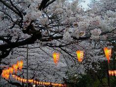sakura tree with hanging lanterns