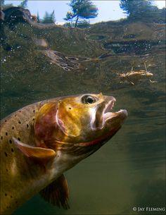 Yellowstone Cutthroat Trout by JayFlemingPhoto on Etsy