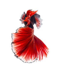 Blood - Capture the moving moment of red siamese fighting fish isolated on black background. Betta fish. Fish of Thailand