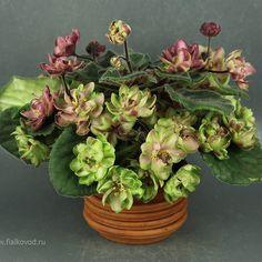 Repost fialkovod AV-Wild Hops - flowers do not fade, forewer flowering. Цветы не отцветают, держатся вечно.