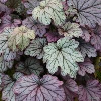 Heuchera 'Spellbound', this is a beauty, large leaves and plenty of impact. The foliage will lack this beautiful silvery marking in full sun and needs partial shade to perform like this. Herbaceous Border, Herbaceous Perennials, Hardy Perennials, Garden Shrubs, Shade Garden, Coral Bells Heuchera, Large Flower Pots, Moon Garden, Garden Bed