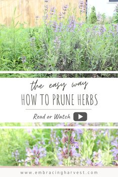 Learn simple tips on how to prune herbs in your garden with this short video. You'll learn how to prune, when to prune and best practices. Growing Herbs At Home, Cooking Herbs, Types Of Herbs, Herb Garden Design, Herbs For Health, Backyard Vegetable Gardens, Organic Gardening, Herb Gardening, Medicinal Herbs
