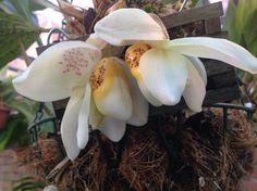 Stanhopea Ecornuta Orchids Plants Growers