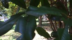 Famiglia Libardoni: Encontro Xerém, RJ, Brasil. Lichia, Abricó. IMG_3497...
