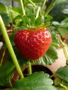 Strawberries are possibly the most irresistible and beautiful fruits. Everything about the strawberry be it color, texture or flavor is appealing which. Fruit Garden, Edible Garden, Vegetable Garden, Garden Plants, Container Gardening, Gardening Tips, Strawberry Pots, Growing Tomatoes In Containers, Grow Tomatoes