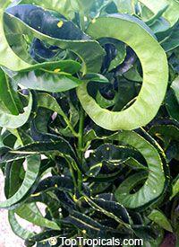 Unusual Houseplants Euphorbia Leuconeura Or Madagascar 400 x 300