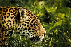 Researchers have found a way to model which areas of habitat to conserve in order to help protect the threatened Jaguar.
