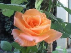 My mother Rose Photo by Souad