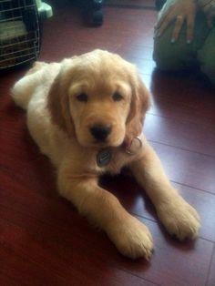 Golden Retriever / Cocker Spaniel mix puppy: