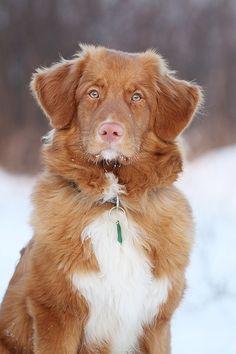 Nova Scotia Duck Toller Retriever...this dog is perfect!! my dream dog <3