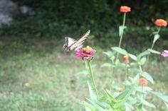 butterfly zinnia