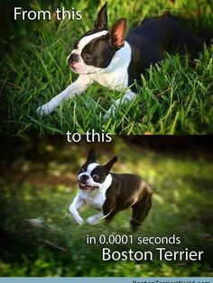 LOVE Boston Terriers! ❤❤❤ Lots more Boston Terrier Pictures at http://BostonTerrierWorld.com