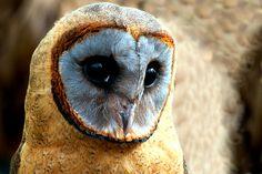 Familiar Owl