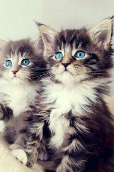 Blue Eyes Pair Of Cute Kittens Sitting - You are viewing Photo titled Blue Eyes Pair Of Cute Kittens Sitting from the Category Amazing Pictures Tags: Animals Cats Gatos Maine Coon, Maine Coon Kittens, Tabby Kittens, Kittens Meowing, Kittens Playing, Pretty Cats, Beautiful Cats, Animals Beautiful, Gorgeous Eyes